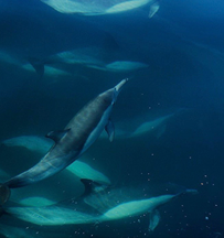 Dolphins seen on environmental tour by Pacific Ocean Charters